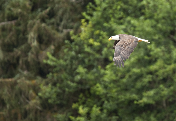 Eagle in Flight © 2014 Alan Plisskin